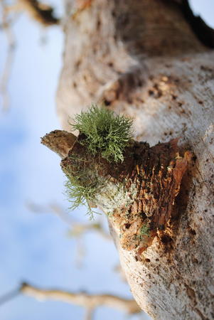 木に生えるコケの切り株のコケ 写真素材