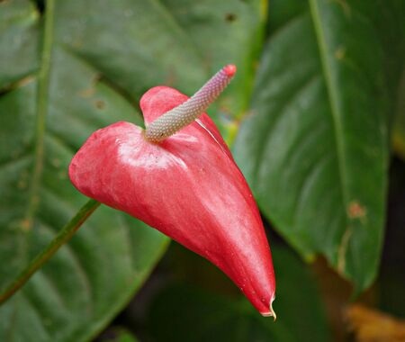 red anthurium flower Also called tailflower, flamingo flower and laceleaf