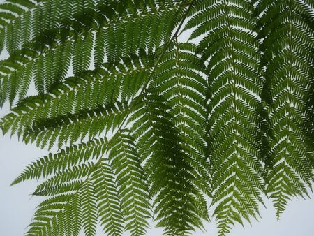 Closeup of fern leaves A branch of dark green fern leaves Stock Photo