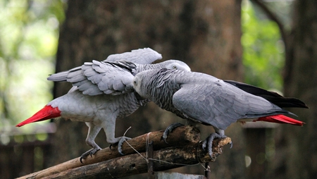 Pair of African grey parrots perched on a piece of wood Two red-tailed African grey parrots scratching each other while perched on wood Stock Photo