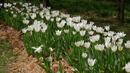 Patch of blooming white tulips White tulips with a few red tulips in boom at a garden Stock Photo