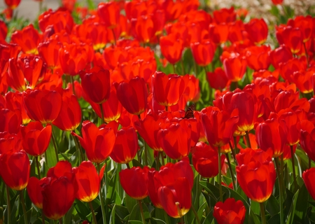 Red tulips in bloom with half-hidden butterfly A patch of red blooming tulips and a butterfly partially hidden in a tulip bulb