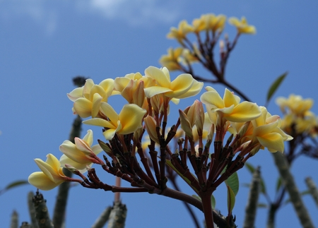 leis: branches of yellow plumeria flowers Plumeria, the national flower of the island of Saipan in the Northern Mariana Islands is used to make leis, garlands or adorn establishments. It grows all year round.