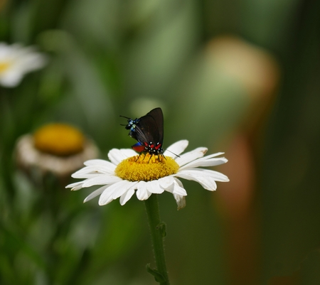 Butterfly sipping nectar from a chamomile flowers in the garden