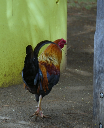 A beautiful rooster in a muddy backyard