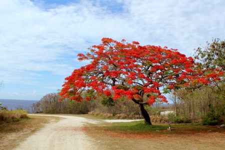 Flame trees in bloom makes the islands in the Northern Marianas look like they are on fire.