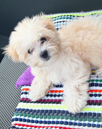 An adorable Maltese puppy in a colored mat