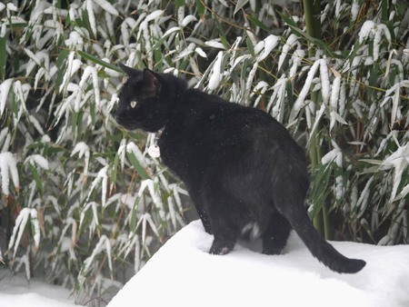 Fat black cat sitting on a snow-covered rock with snow-laden bamboo trees in the background Фото со стока