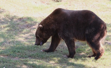 Brown grizzly bear walking in green grass beside a rock wall, with head down Banco de Imagens