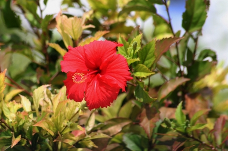 Red hibiscus, also called gumamela in the Philippines with blurred green leaves background Stock Photo