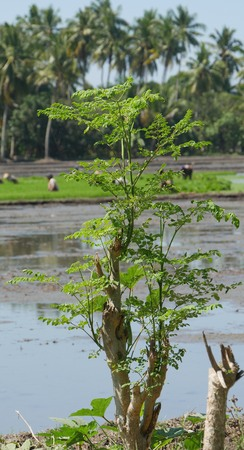 Tall malunggay plant with leaves in the bank of a ricefield Stock Photo