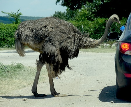 Ostrich eats food from a vehicle driver in a drive-thru zoo