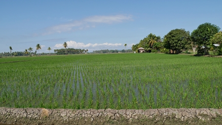 Newly-planted rice fields in Banaybanay, Davao Oriental, southern Philippines. Standard-Bild