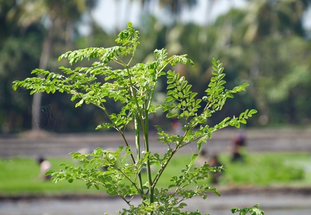 Malunggay leaves or horseradish leaves Malunggay leaves is a nutritious vegetable and has many health benefits.