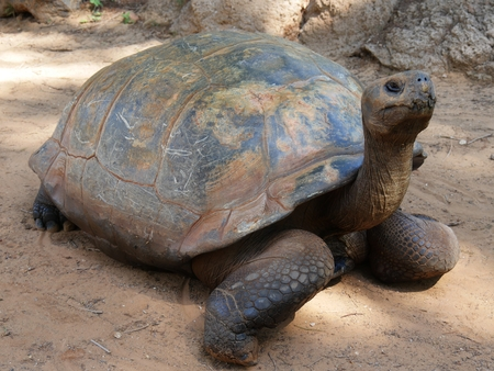 Galapagos tortoise walking in the dusty ground, semi side frontal view