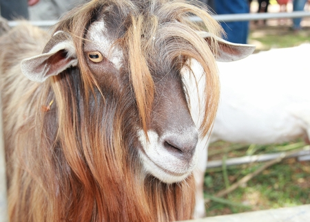 Closeup shot of the head of a billy goat