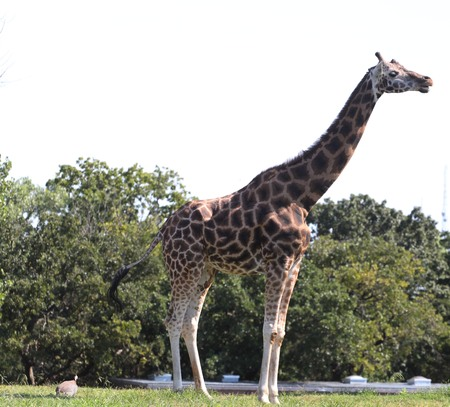 Giraffe, standing side view