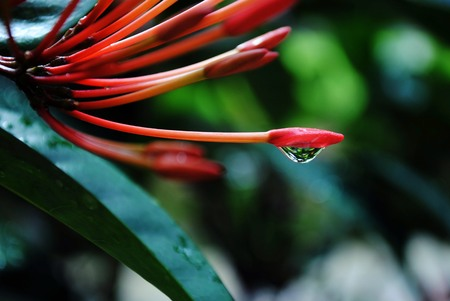 Dewdrop suspended from the tip of a santan flower, with blurred leaves in the background