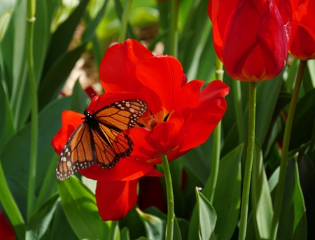 Butterfly sipping nectar from a red tulip