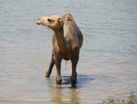 Camel standing up in muddy water and looking sideways, with water dripping down its belly
