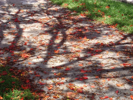 A concrete footpath made beautiful by a shower of bright red flowers fallen from the flame tree