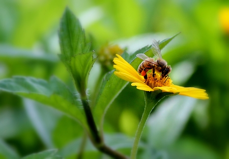 Bee busy sipping nectar from center of a yellow flower in the garden