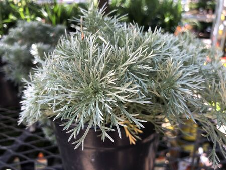 Close up of a pot of silver mound artemisia plant outdoors