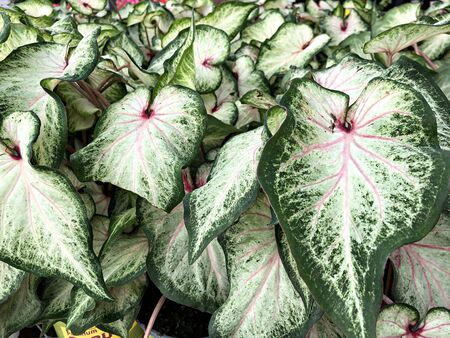 Green and white caladium leaves with pink veins
