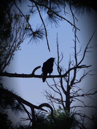 Silhouette of a bald eagle perched on a tree, with its beak open
