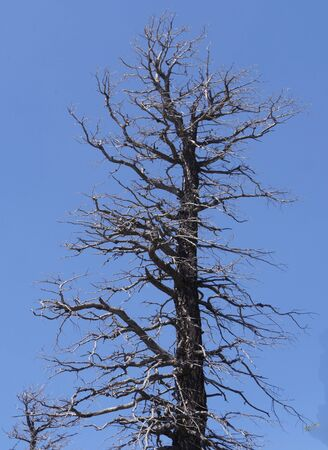 Close up of the top part of a leafless tree left from a forest fire in Utah.