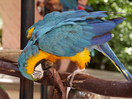 Close up of a colorful parrot with its head bent down, pecking on wood Stock Photo - 127525391
