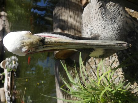 Close up of a brown pelican by the pond facing the front