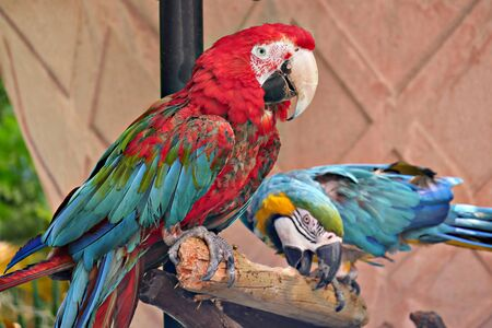 Two colorful parrots perched on a piece of wood, with one of them pecking on the wood