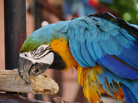 Close up of a colorful parrot pecking on wood