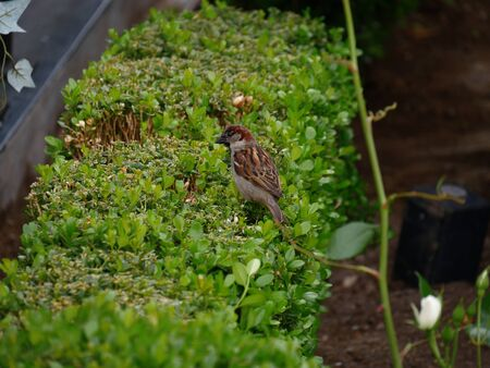 Small bird perched on top of a trimmed hedge in a garden