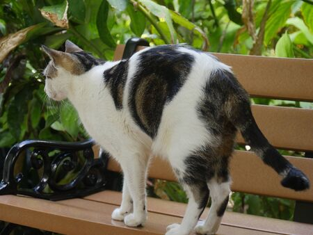 One of the pampered cats lat the Hemingway house, Key West, Florida.