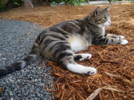 Beautiful pampered cat at the Hemingway house gardens in Key West, Florida. Foto de archivo