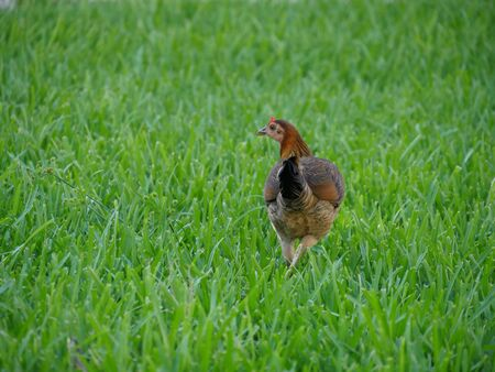 Back view of a hen walking on a green grassy area Archivio Fotografico