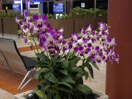 Jakarta, Indonesia--Febrruary 2018: Medium close up of purple and white orchids inside the Soekarno-Hatta International Airport.
