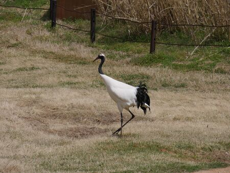 Whooping crane walking in a grassy patch at a park Standard-Bild