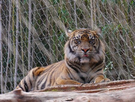 Zoomed in shot of a tiger behind a cyclone wire fence  Stock fotó