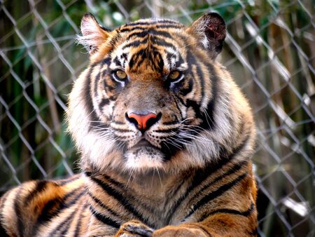 Close up zoomed in shot of a tigers face  behind a cyclone wire fence