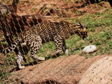 Wide shot of a jaguar walking on a grassy patch behind a cyclone wire