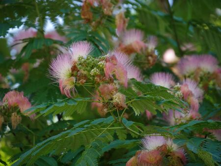 Clusters of pink siris in a garden