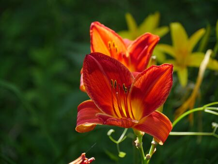Close up of red adn orange Asiatic lily flowers, soft background