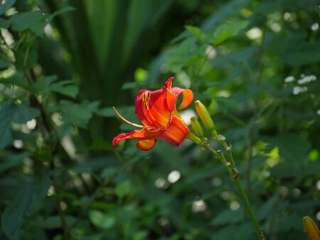 Wide shot of a red Asiatic lily flower, soft background