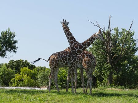 Two giraffes standing close to each other close to small trees Фото со стока