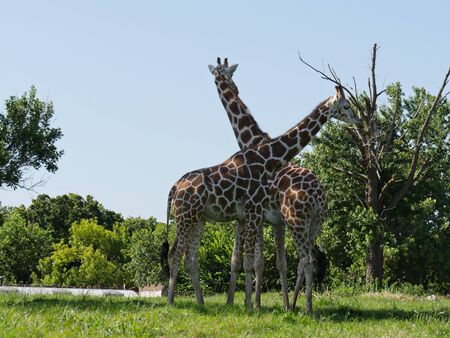 Medium wide shot of two giraffes standing close to each other close to small trees
