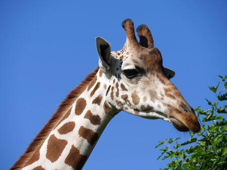 Close up of the head of a giraffe eating grass from a tall tree