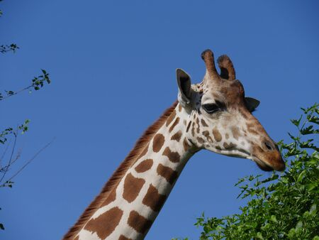 Medium close up of the head of a giraffe eating grass from a tall tree